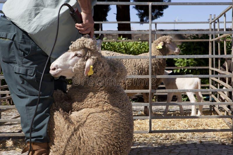 Download Rijpe Landbouwer Het Scheren Schapen Met Clipper Stock Afbeelding - Afbeelding bestaande uit shearing, spanje: 54083931