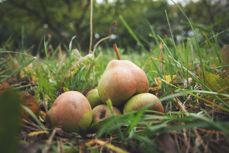 Rijpe landbouwersperen van een organische tuin stock afbeelding