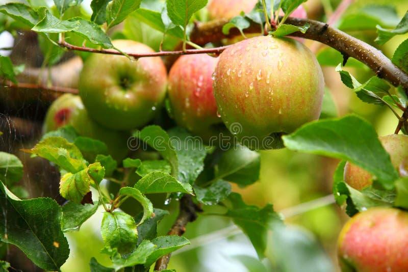 Rijpe, mooie appelen op de takken van appelboom stock afbeelding