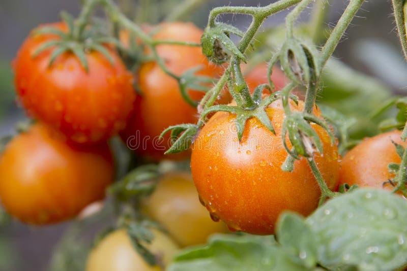 Rijpe natuurlijke tomaten die op een tak groeien royalty-vrije stock afbeeldingen