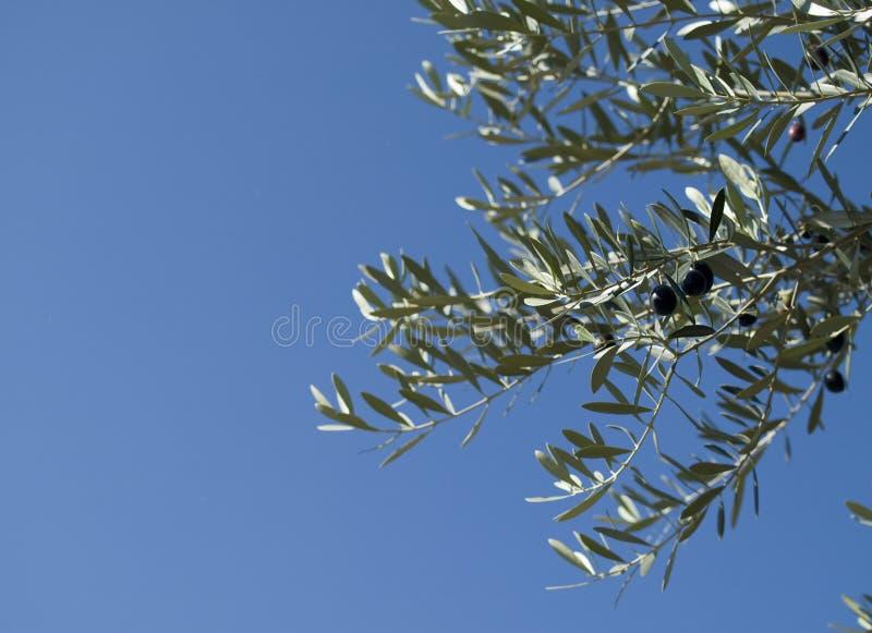 Rijpe olijven op een olijfboom royalty-vrije stock foto's