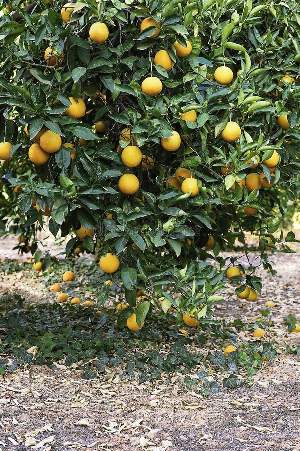 Rijpe oranje boom Meer dan 30 sinaasappelen royalty-vrije stock afbeelding