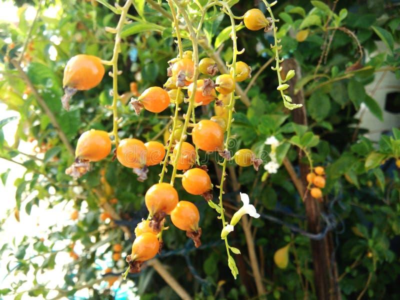 Rijpe oranje vruchten op boom van Duranta op boom in tuin stock foto's