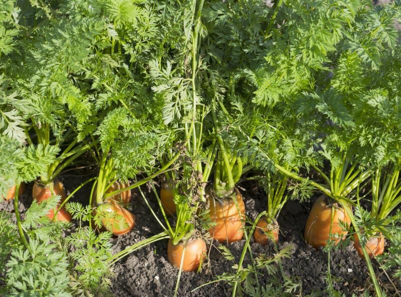 Rijpe oranje wortelen in vuil van gebied royalty-vrije stock afbeelding