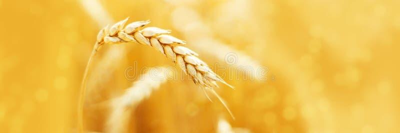 Rijpe oren van rogge op gebied tijdens de zomerlandschap van de oogstlandbouw Landelijke scène Macro Panoramisch beeld royalty-vrije stock foto's