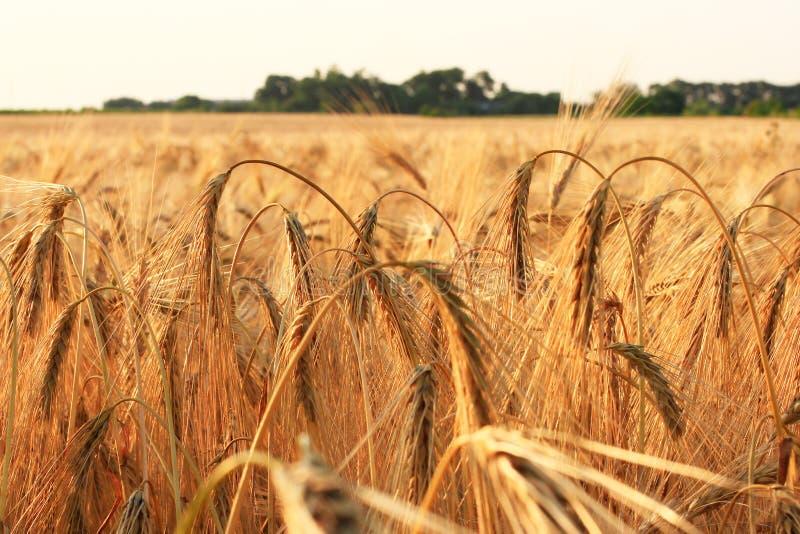 Rijpe oren van tarwe op het gebied royalty-vrije stock fotografie