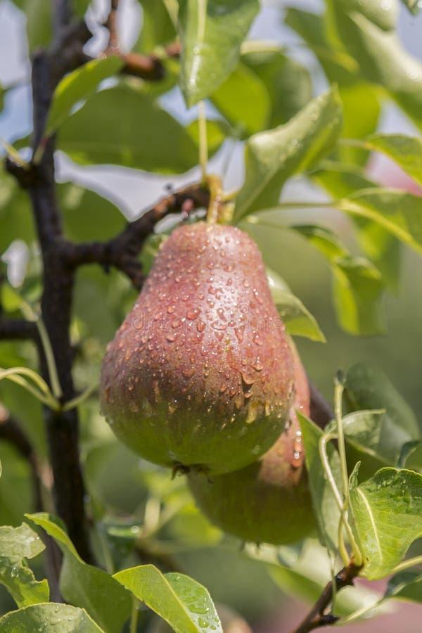 rijpe peer, perenboom William Bon Chretian-peren die op de boom rijpen Een paar rijpe peren op de takken Verticale foto royalty-vrije stock afbeelding