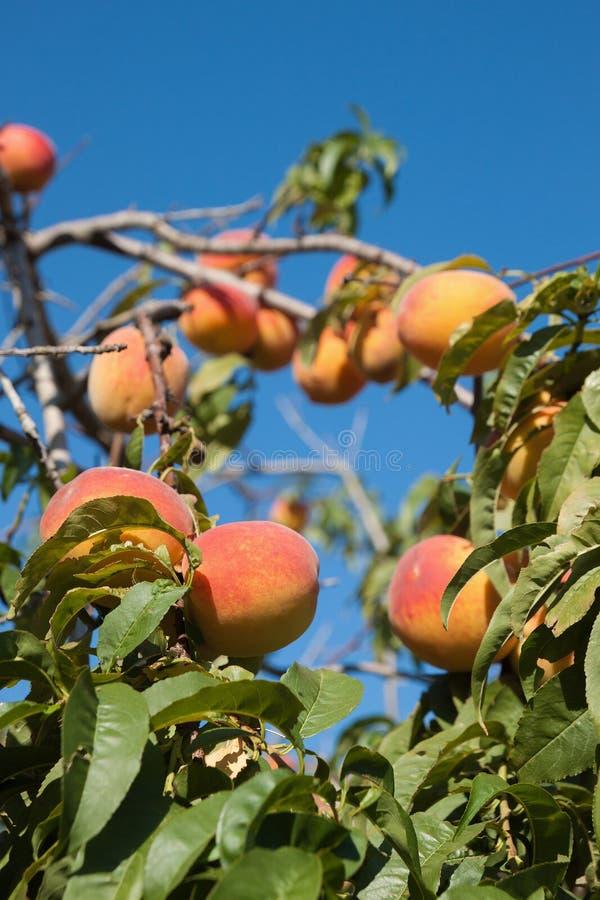 Rijpe perziken op een boom stock afbeelding