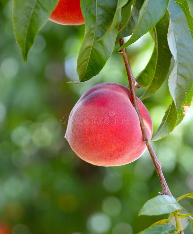 Rijpe perziken op een tak stock foto's