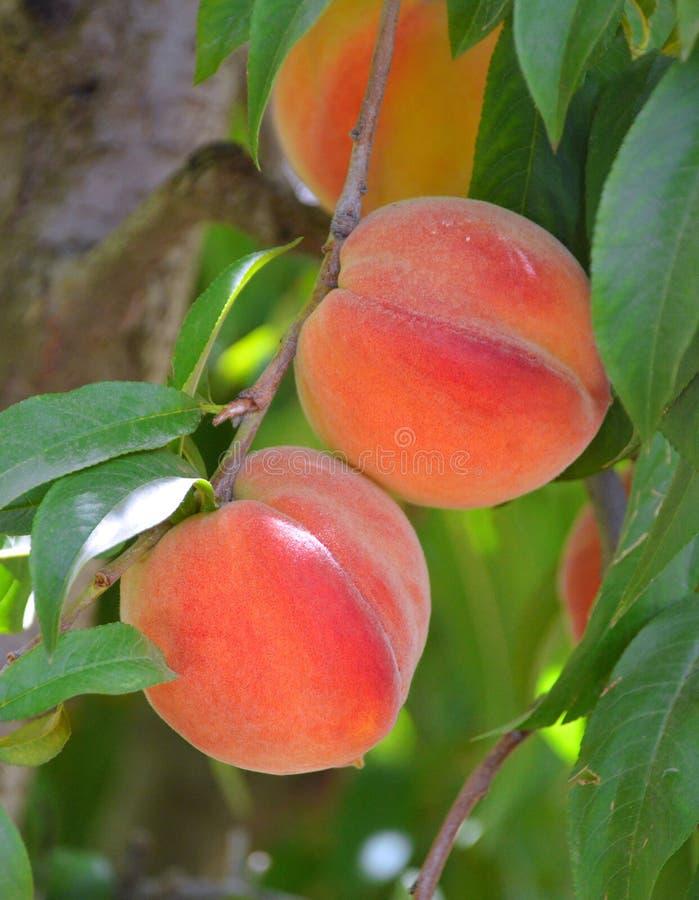 Rijpe perziken op een tak stock afbeeldingen