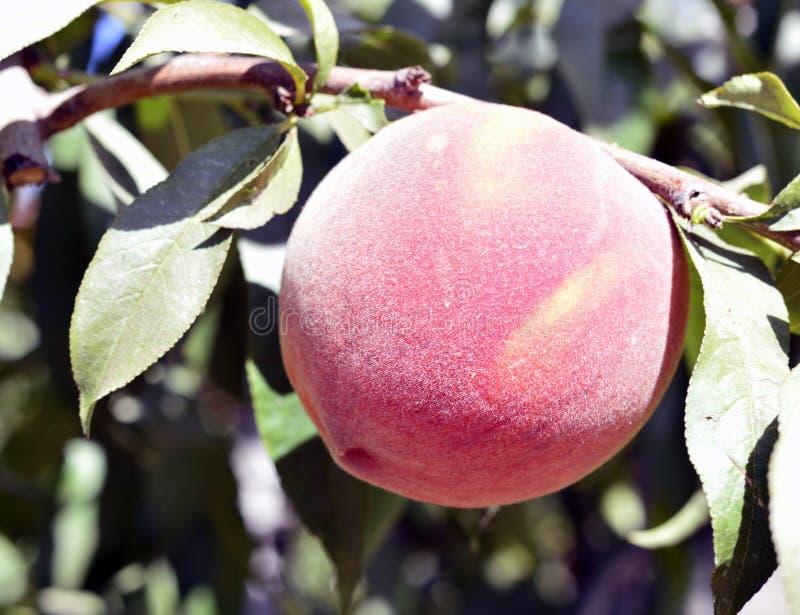 Rijpe perziken op een tak stock afbeelding