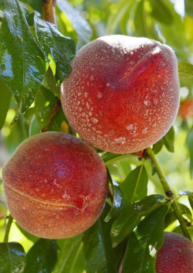 Rijpe perziken op een tak royalty-vrije stock fotografie