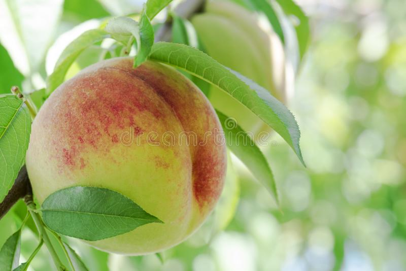 Rijpe perziken op een tak in boomgaard Natuurlijk fruit royalty-vrije stock foto