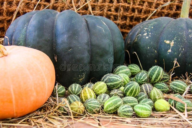 Rijpe pompoenen, gele, groene gestreepte en kleine oranje de herfstpompoen patissons met kersentomaten, droog gras tegen backgrou stock foto's