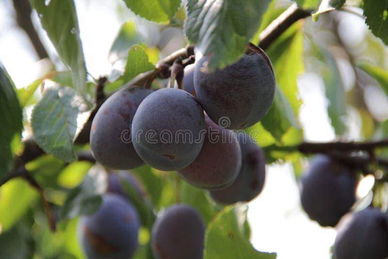 Rijpe pruim op de tak van een pruimboom stock fotografie