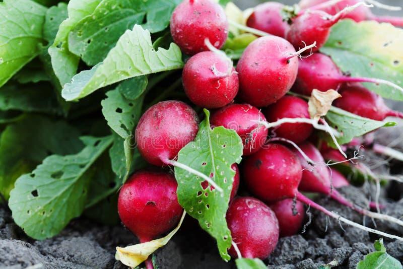 Rijpe radijzen met groene bladeren De verse organische groenten oogsten rode radijs Landbouw het tuinieren voedselconcept royalty-vrije stock foto