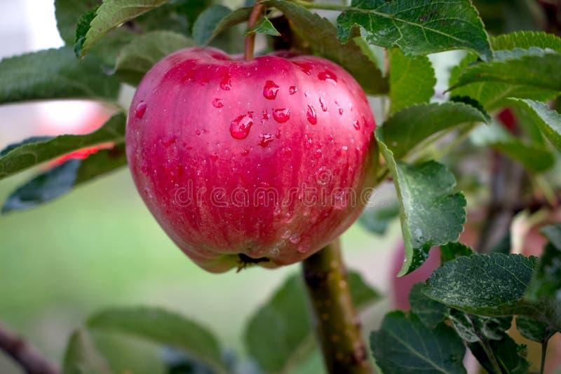 Rijpe rode appel op een appeltak Boomgaard na rain_ stock afbeelding