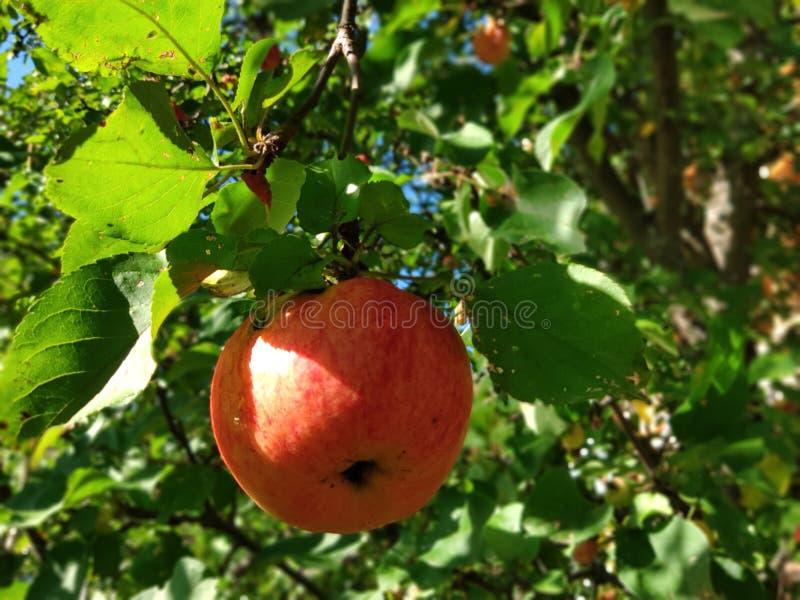 Rijpe, rode appel op een tak stock foto's