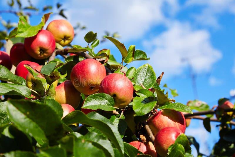 Rijpe rode appelen die in de tuin groeien stock foto