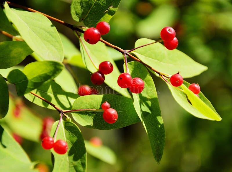 Rijpe rode bessen van viburnum op een boomtak royalty-vrije stock foto