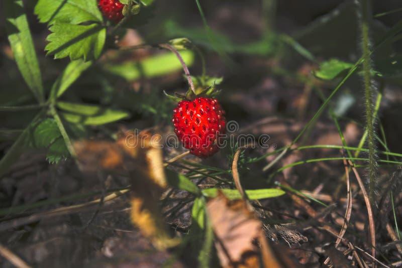 Rijpe rode bessen van wilde aardbeiclose-up Sluit omhoog van wilde aardbeien royalty-vrije stock afbeelding