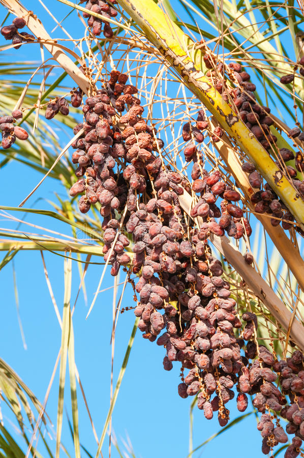 Rijpe rode datavruchten in groene palm royalty-vrije stock foto