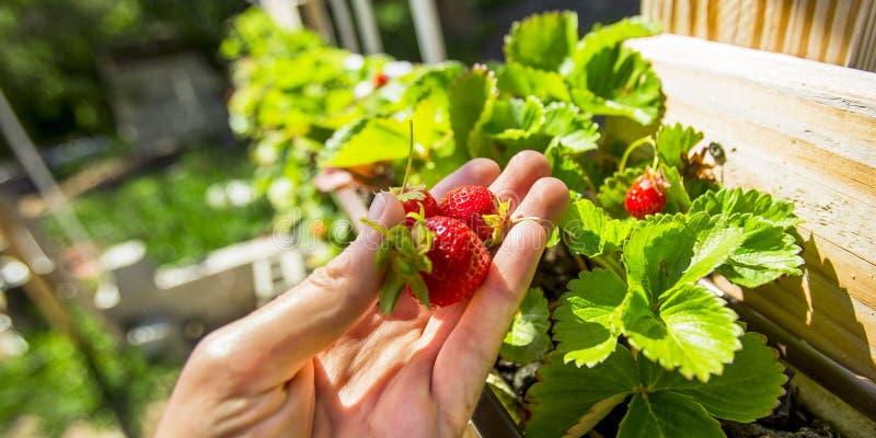 Rijpe rode die aardbeien in aquaponics worden gekweekt royalty-vrije stock foto