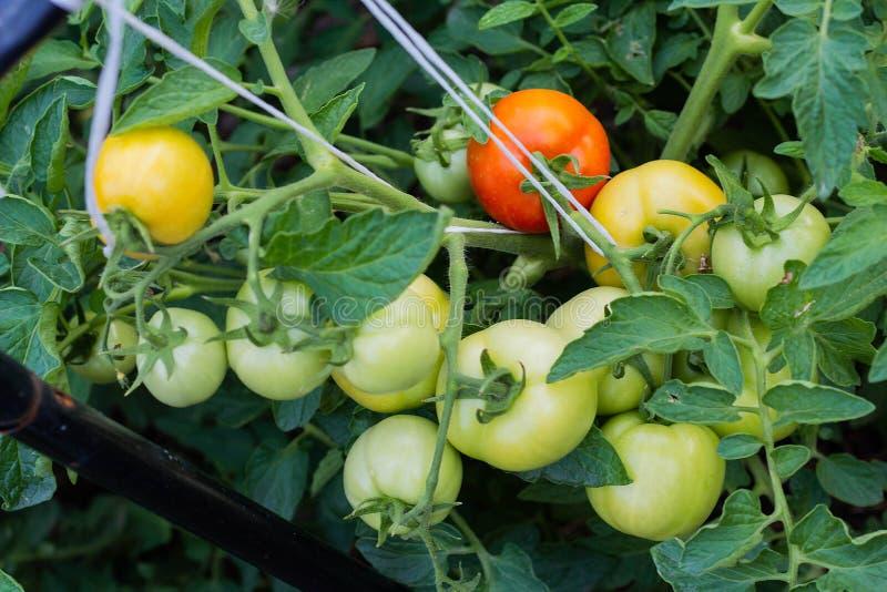rijpe rode en niet rijpe groene tomaten die op de wijnstok van een tomatenplant in de tuin hangen stock foto