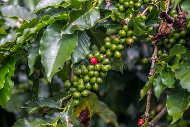Rijpe, rode koffieboon - klaar voor het plukken - onder groene degenen royalty-vrije stock foto