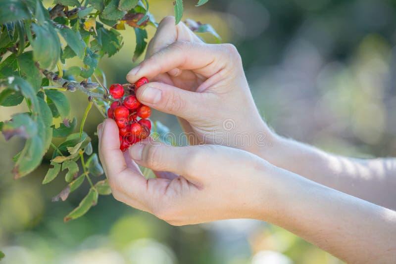 Rijpe rode lijsterbes in de herfst royalty-vrije stock afbeelding