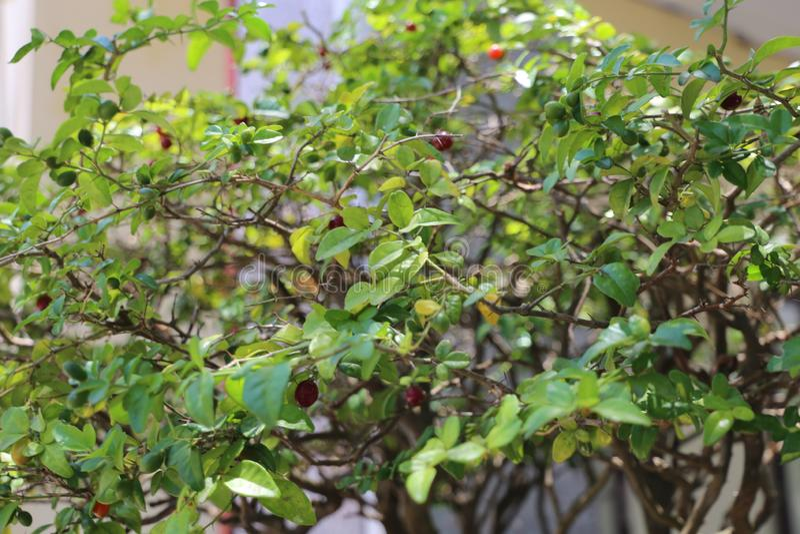 Rijpe rode vruchten op de boom stock afbeelding
