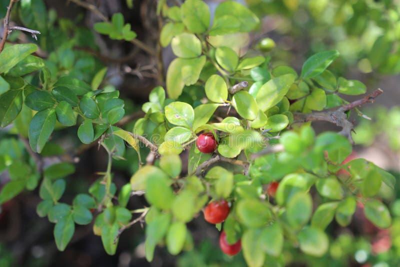 Rijpe rode vruchten op de boom royalty-vrije stock foto's