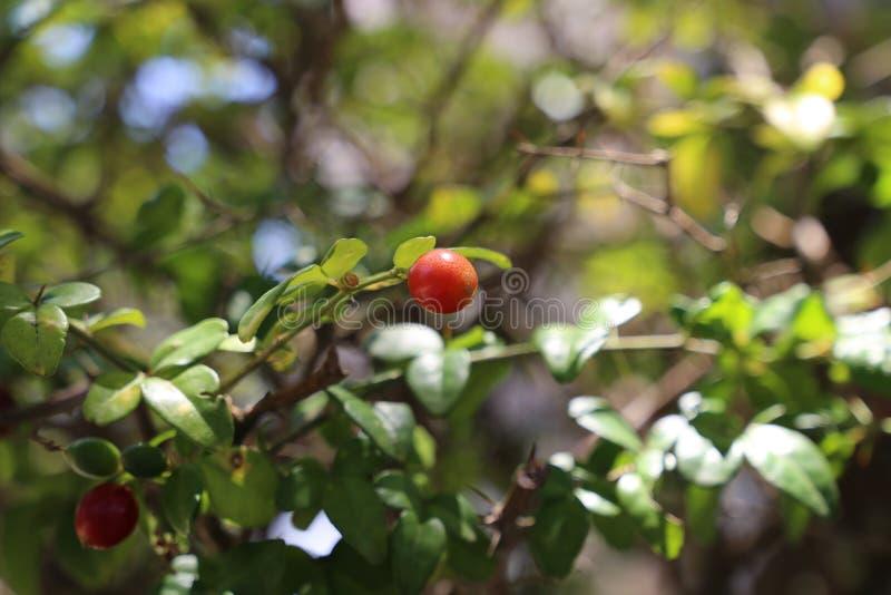 Rijpe rode vruchten op de boom stock foto