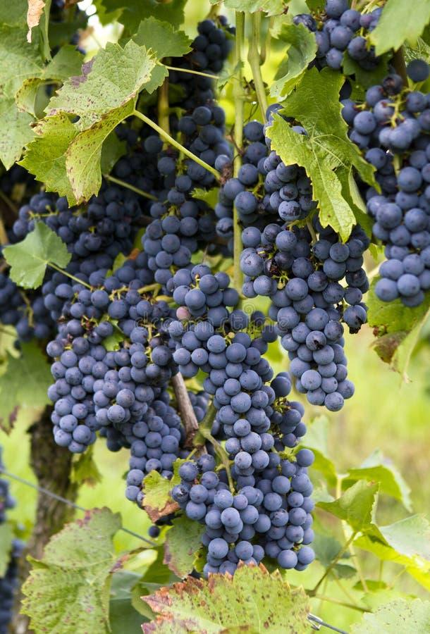 Rijpe rode wijndruiven stock afbeelding