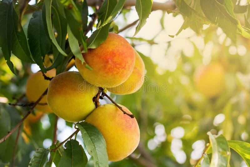 Rijpe sappige perziken op een boomtak op de zonnige zomer day_ stock foto's