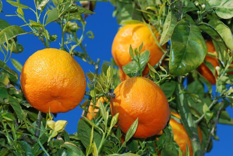 Rijpe sinaasappelen bij boom stock foto