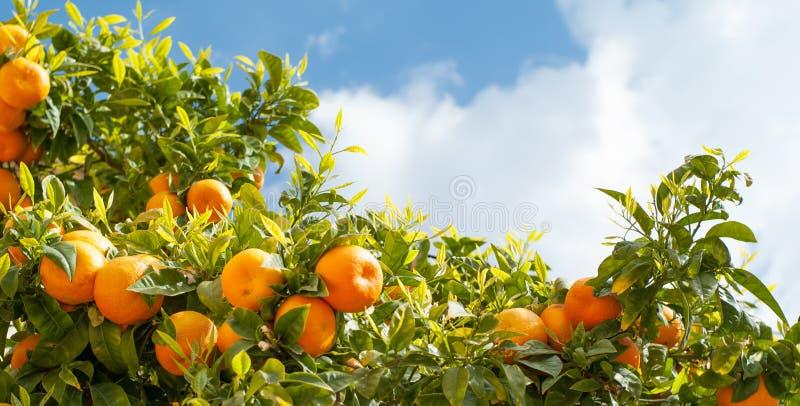 Rijpe sinaasappelen bij oranje boom stock foto's
