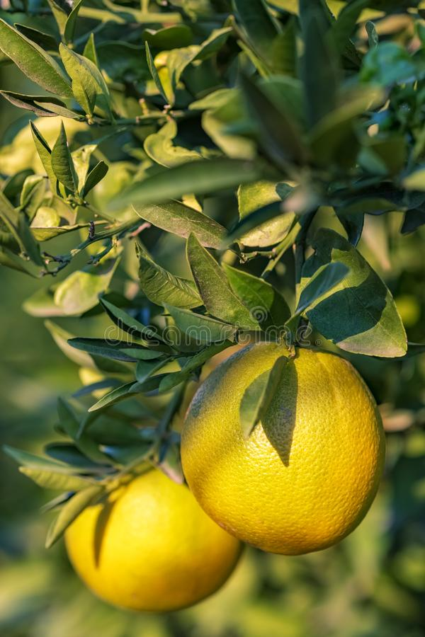 Rijpe sinaasappelen die op een boom in de fruittuin hangen stock foto's