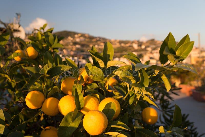 Rijpe Sinaasappelen op een Boom royalty-vrije stock foto