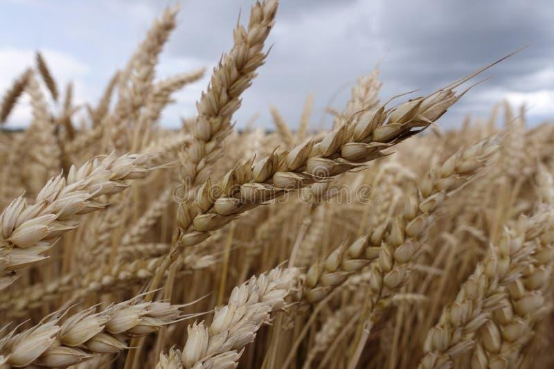 Rijpe tarwe op de gebiedsachtergrond stock afbeelding