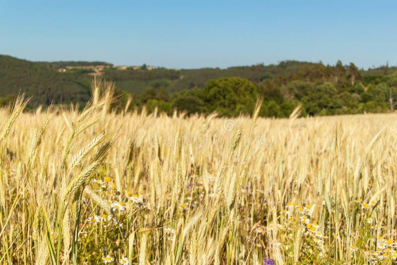 Rijpe tarwe op een gebied in de Tsjechische Republiek Het gelijk maken op landbouwbedrijf Het kweken van korrel stock foto's