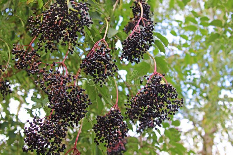 Rijpe vlierbessen die van een boom hangen stock afbeelding