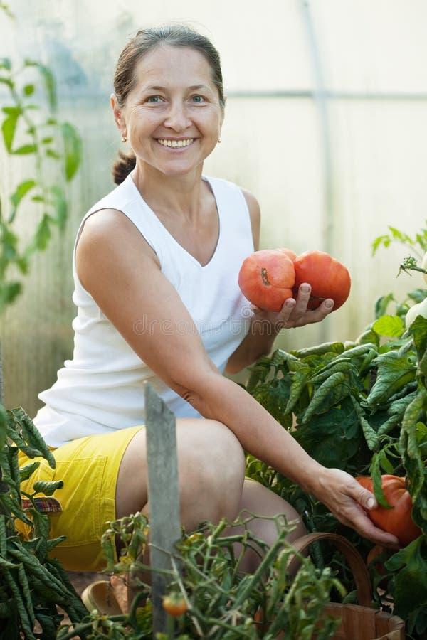 Rijpe vrouw het plukken tomaten stock afbeelding