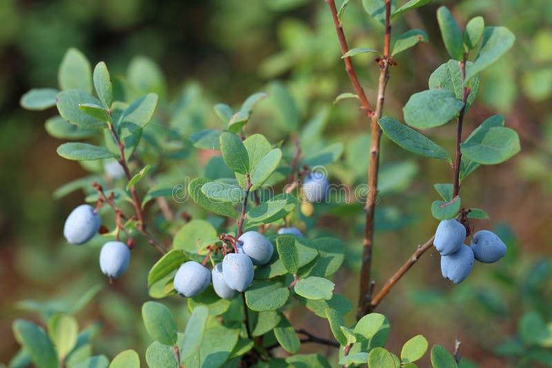 Rijpe vruchten van bosbes stock afbeelding
