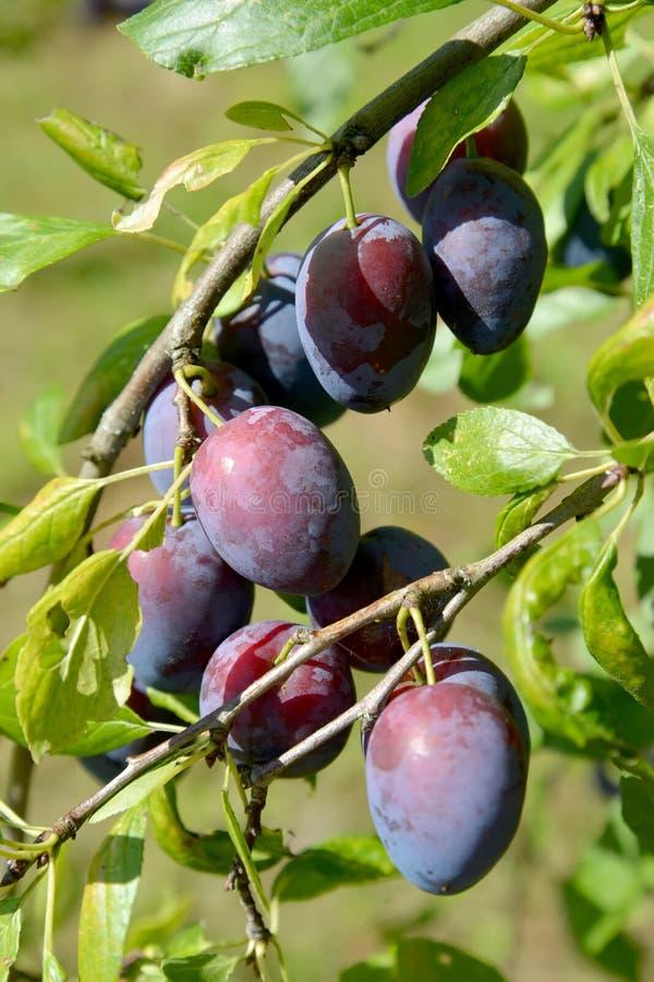 Rijpe vruchten van pruimhuis (Prunus-domestica L ) stock afbeeldingen