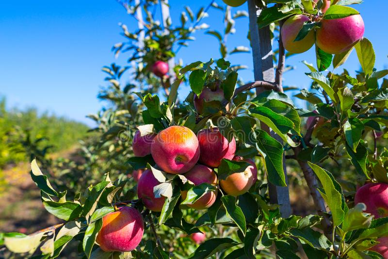 Rijpe vruchten van rode appelen op de takken van jonge appelbomen royalty-vrije stock afbeelding