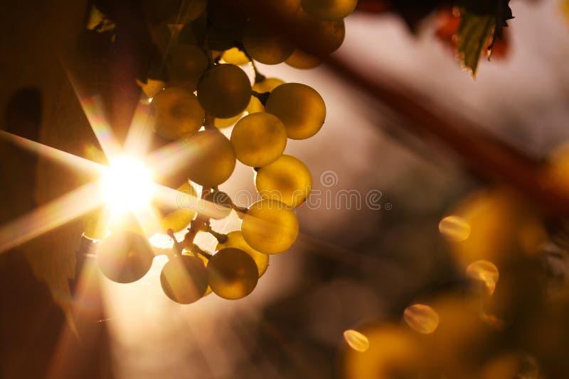 Rijpe wijndruiven en wijn in zonlichtster stock foto's