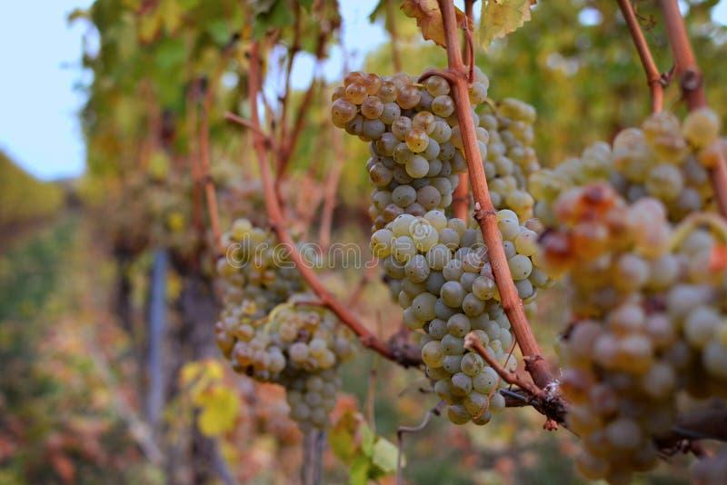 Rijpe witte druivenbessen op wijngaard in de Herfst stock afbeeldingen