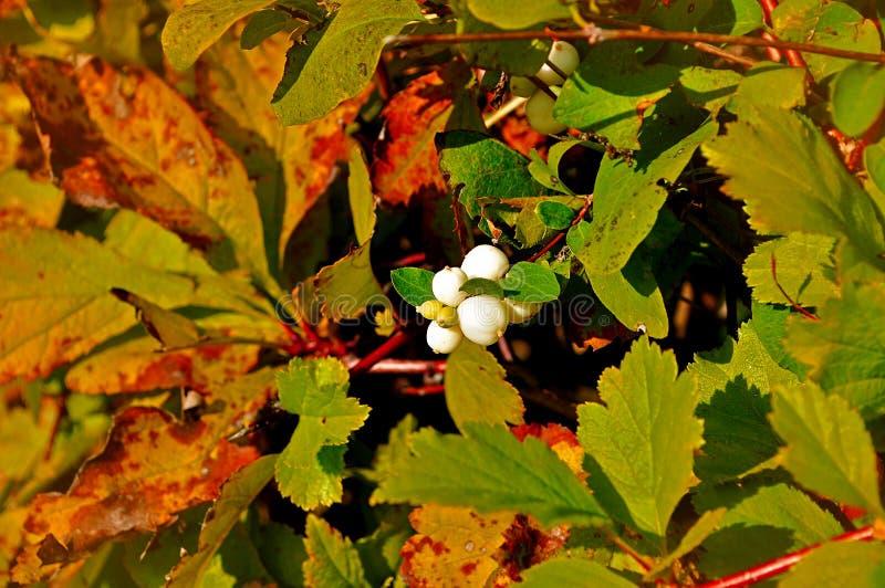 Rijpe witte snowberry bessen - in Latijnse Symphoricarpos albus- op de struik onder het zonlicht royalty-vrije stock afbeeldingen