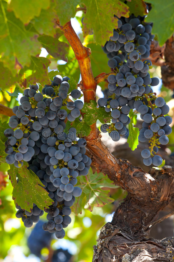Rijpe Znfandel druivenclusters op knoestige wijnstok stock fotografie